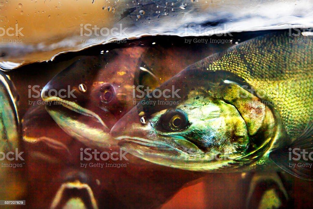 Fear Chinook Coho Salmon Close Up Issaquah Hatchery Washington S stock photo