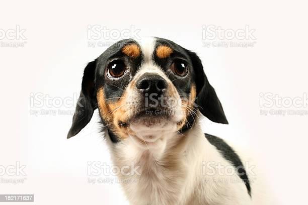 Fearful small dog on white background picture id182171637?b=1&k=6&m=182171637&s=612x612&h=saceuwrf0gcunlwwdxgdudhyoccvwznkr3k3enk  kq=