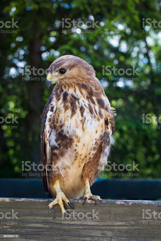 Fearless Eagle Sitting Quietly royalty-free stock photo