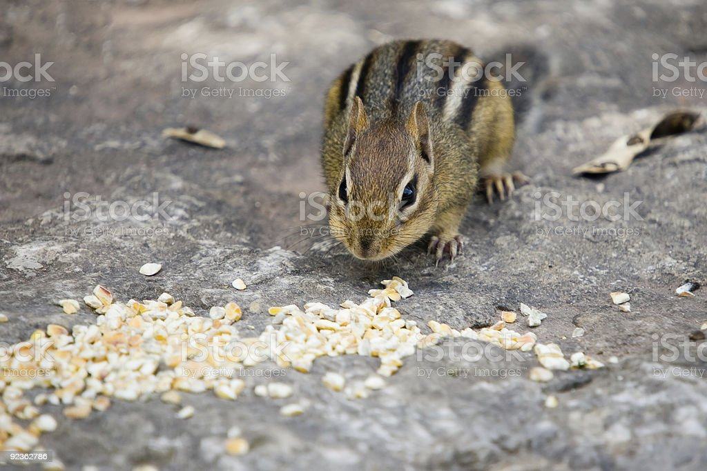 Feast for a Chipmunk royalty-free stock photo