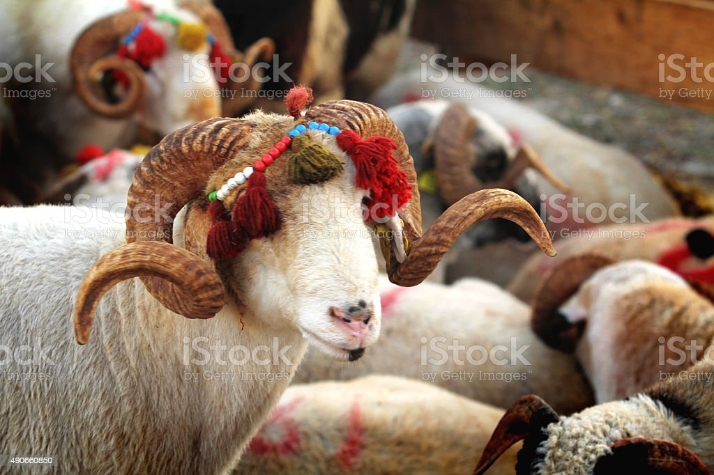 feast of the sacrifice and livestock stock photo