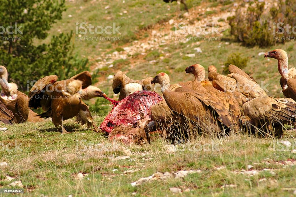 Feast of vultures eating a dead deer A dead red deer is being eaten by a group of griffon vultures. The fights and conflicts among them were constant. Adventure Stock Photo