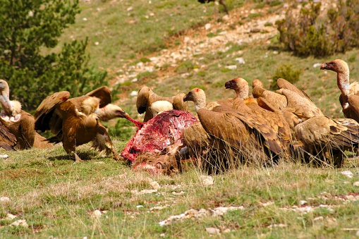Feast Of Vultures Eating A Dead Deer Stock Photo - Download Image Now
