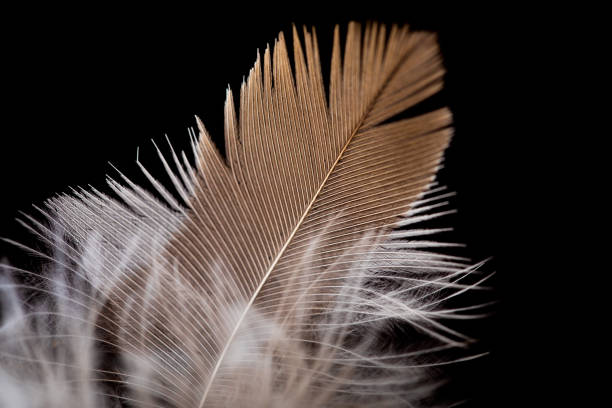 Feather close-up on a black background. stock photo