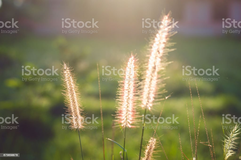 feather grass in meadow with sunlight on morning. royalty-free stock photo