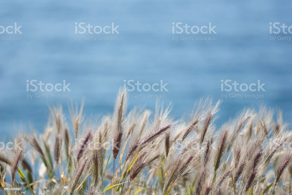 Feather grass in wind at sunset in the green field of grain, Crete royalty-free stock photo