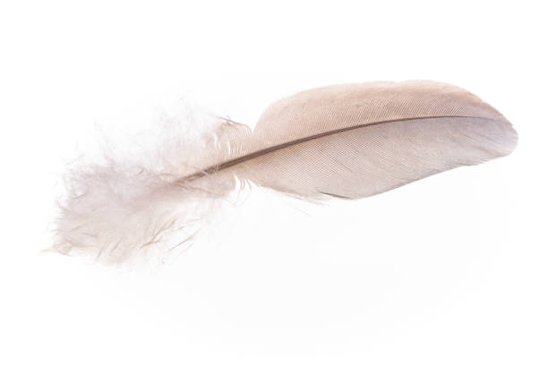 Feather isolated on a white background. stock photo