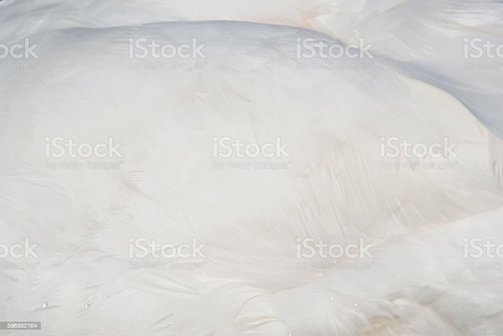 Feather of a Swan (Cygnini) royalty-free stock photo