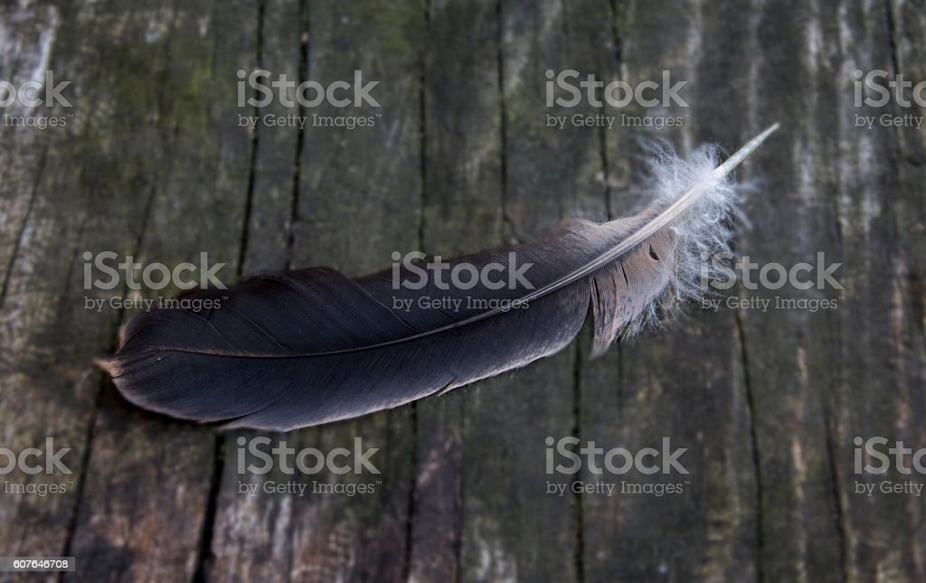 feather of bird on a wooden surface stock photo