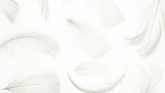 Feather pattern concept. Multicoloured pastel angel feather closeup texture on white background in macro photography, soft focus. Elegant expressive artistic image fragility of nature. Copy space