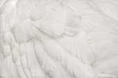 Close-up of swan feather (shallow DOF)