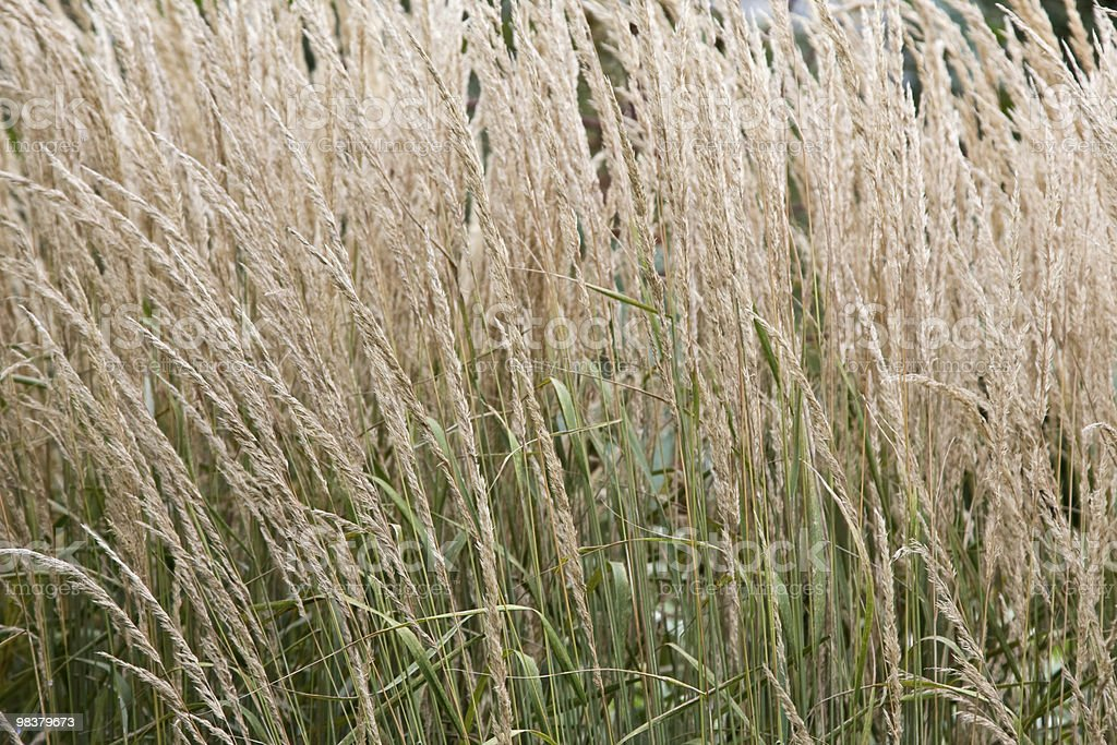 Feather reed grass royalty-free stock photo