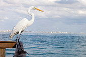 Sanibel Island White Heron sitting on a dock waiting for the catch of the day to come by.