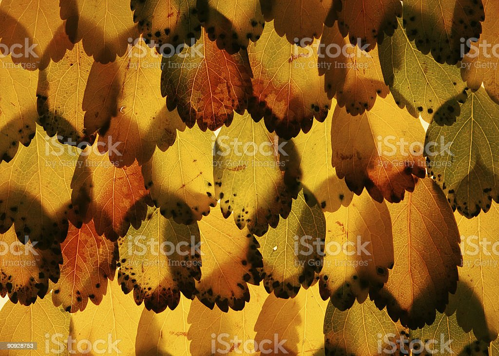 feathered leaves royalty-free stock photo