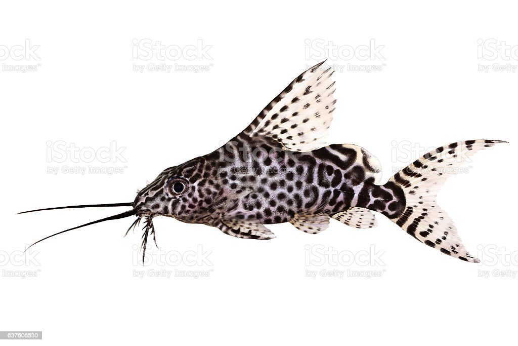 Featherfin squeaker catfish Synodontis Epterus Aquarium fish isolated on white stock photo