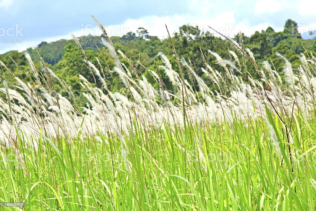 Featherl grass ( imperata cylindrica ) royalty-free stock photo