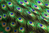 A Peacock ( Peafowl ) part of body view feathers.