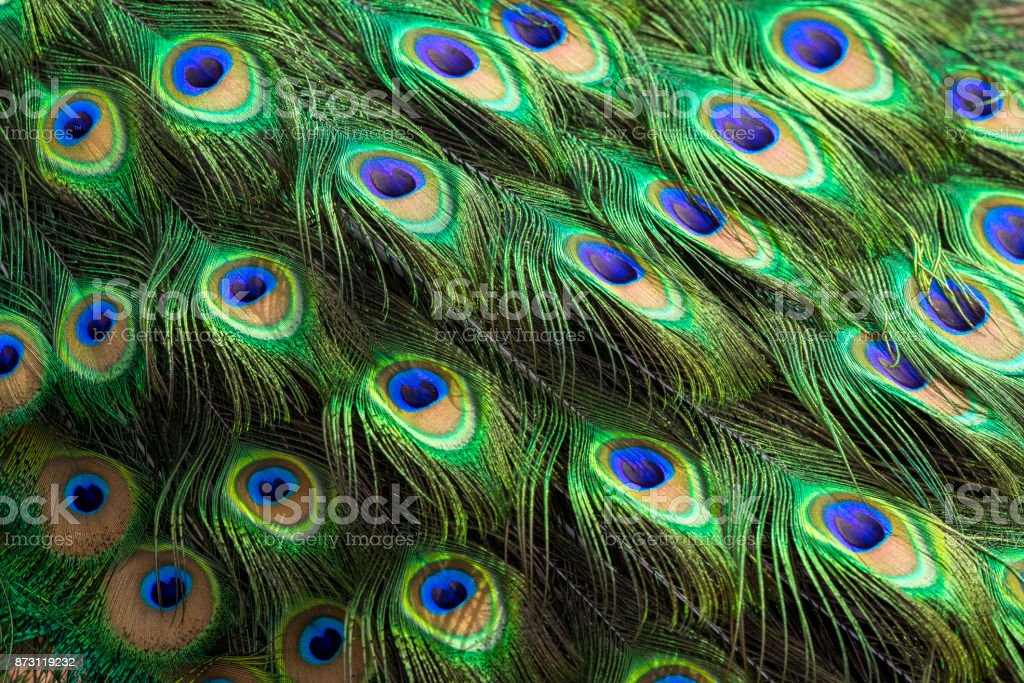 Feathers Close-up of Peacock Peafowl stock photo