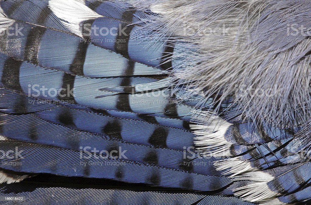 Feathers of a Blue Jay stock photo