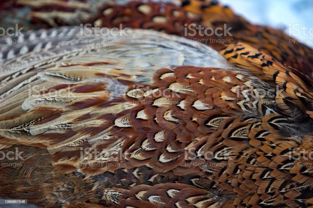 Feathers of the pheasant stock photo
