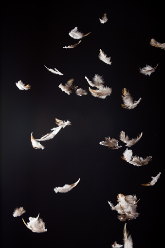 white and brown feathers falling in front of a black background