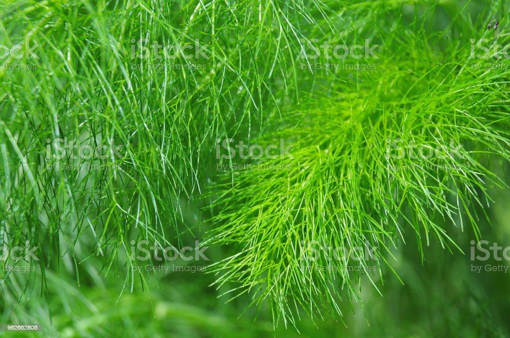 gefiederte Blätter einer Pflanze Fenchel – Foto