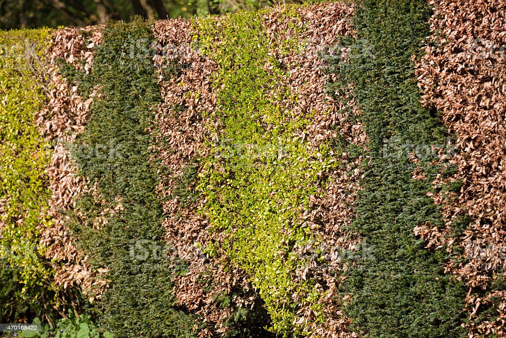 feature garden hedge of beech yew and box in spring stock photo