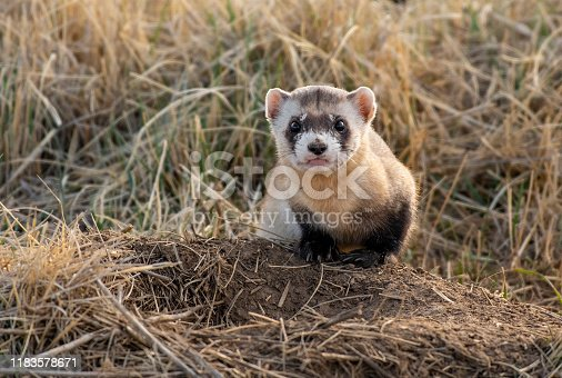 A Black-footed Ferret at a Prairie Dog Burrow