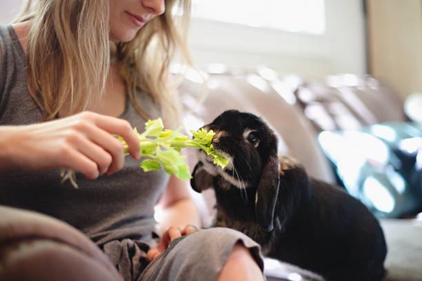Feeding a Rabbit Celery stock photo