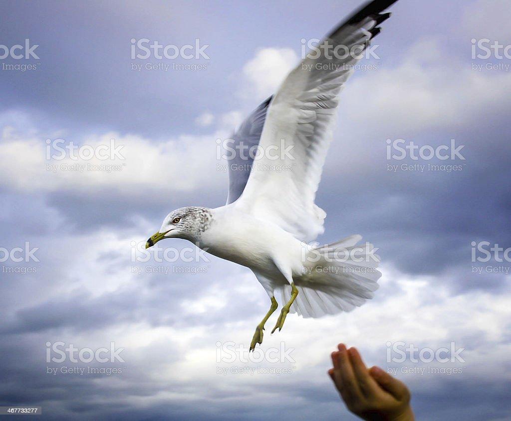 Feeding a Seabird royalty-free stock photo