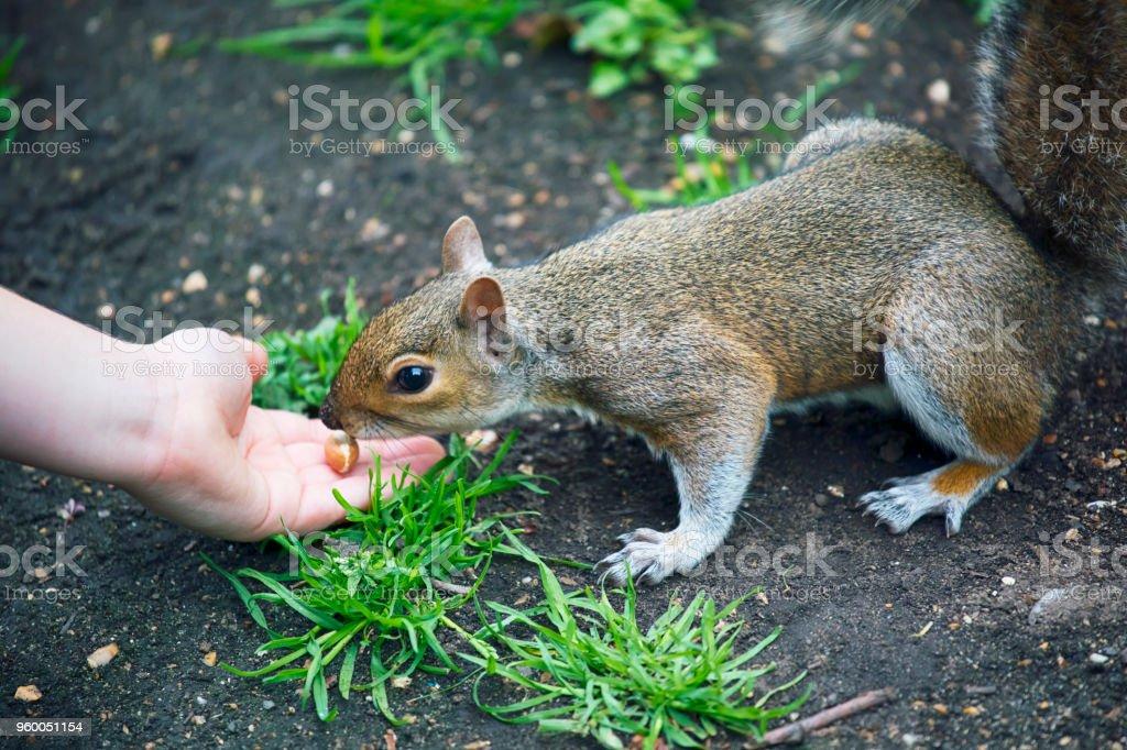 Feeding a squirrel stock photo
