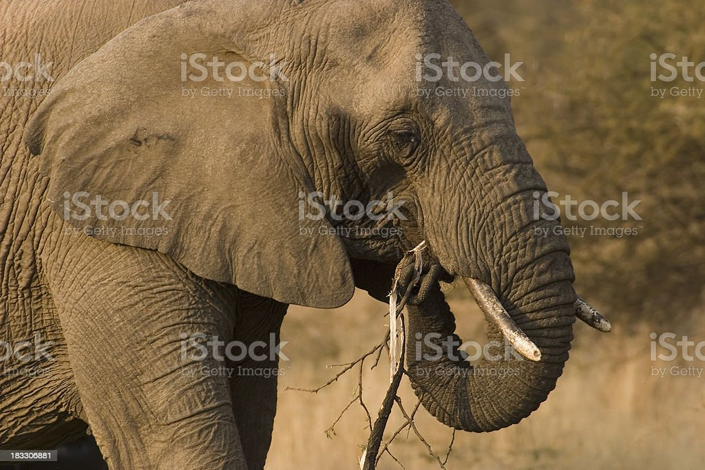 Feeding African Elephant stock photo
