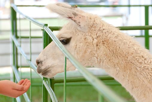 A child feeds an alpaca at a fair