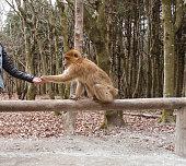 Feeding Ape
