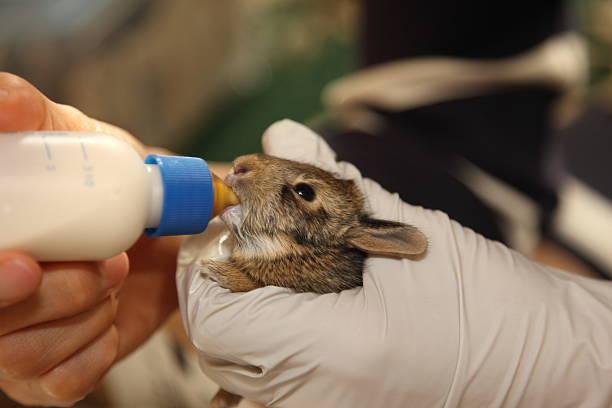 Feeding Baby Rabit stock photo