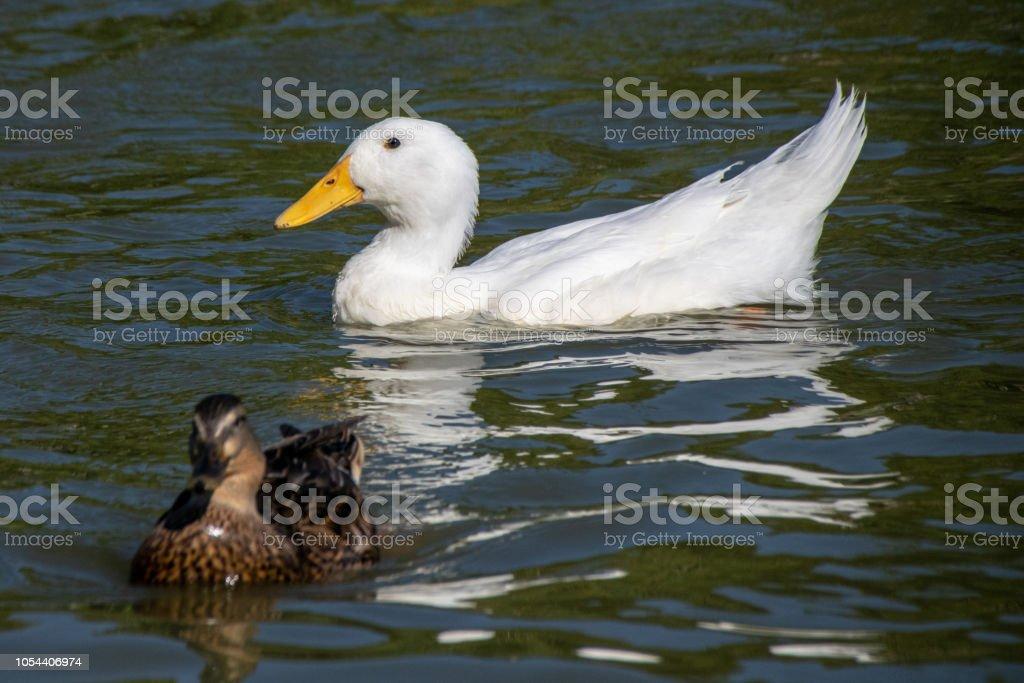 Feeding bread and duck feed pellets to a flock of wild mallards and white heavy Long Island American Pekin Ducks on a park lake stock photo