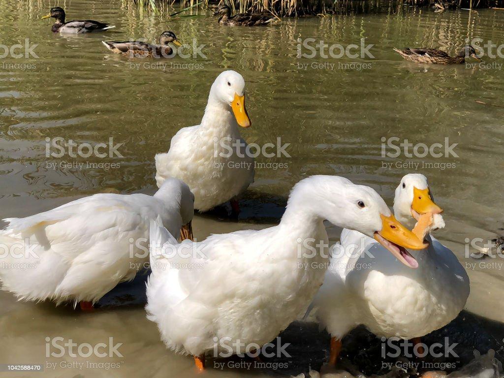 Feeding bread to the ducks as a pair of white Pekin Ducks sharing a piece of white bread stock photo
