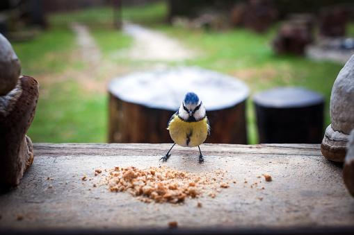 Feeding Bright little Blue Tit Bird on a winter window