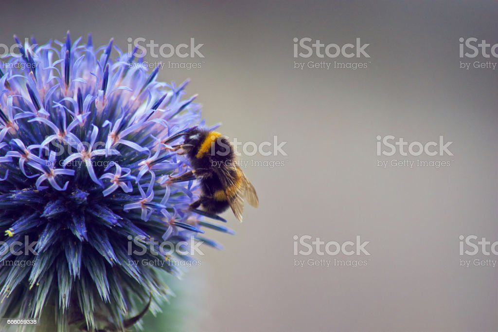 Feeding Bumble Bee stock photo