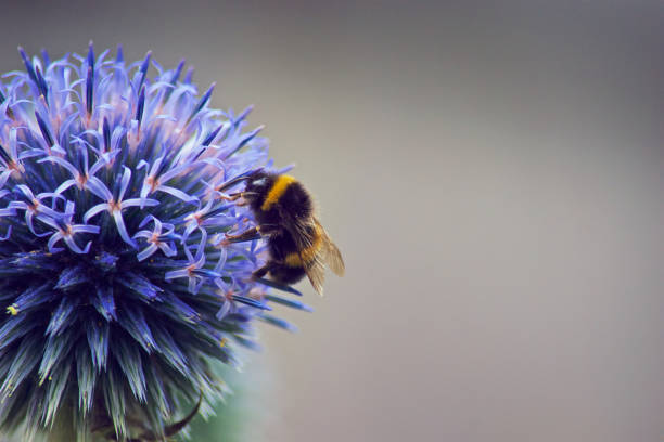 feeding bumble bee - bumblebee stock pictures, royalty-free photos & images