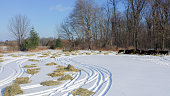 dry hay spread out for cattle on the snow in the winter on the farm