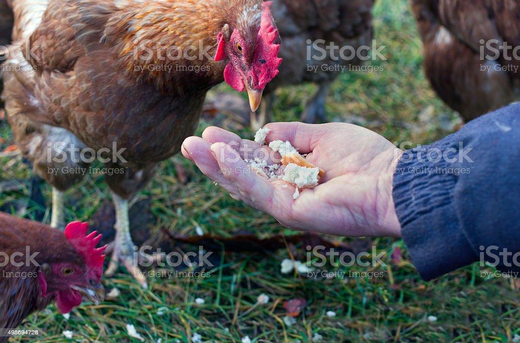Feeding Chicken stock photo
