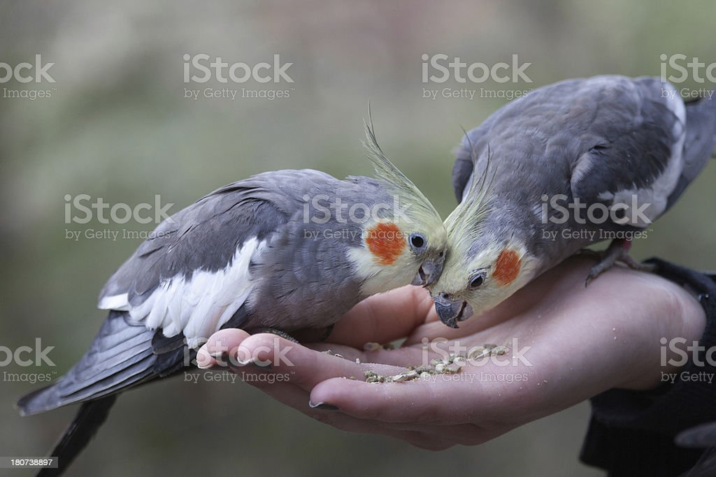 Feeding Cockatiels by hand stock photo