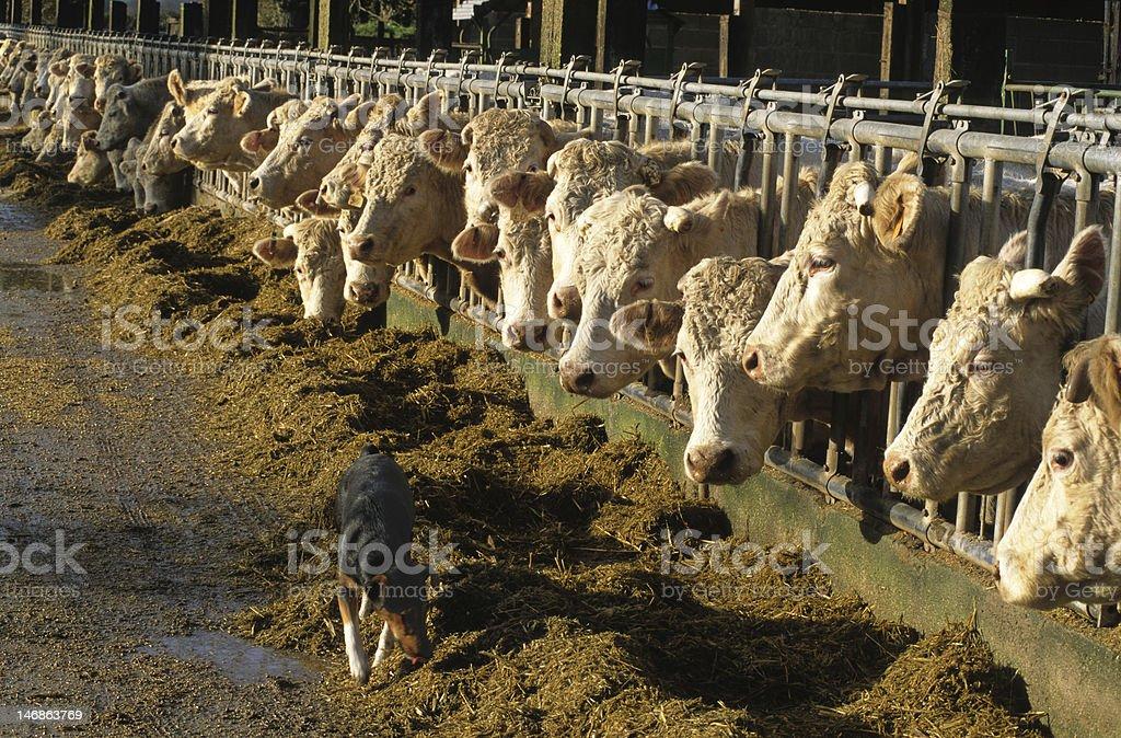 feeding cows royalty-free stock photo