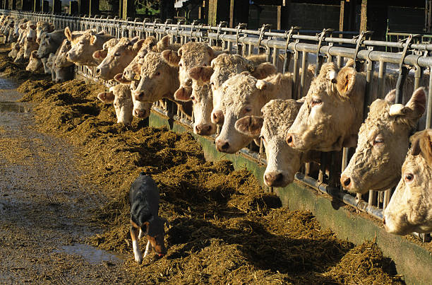feeding cows stock photo