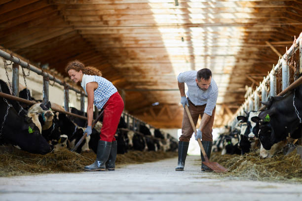 Feeding cows with hay Young farmers with spades giving hay to cows in stables while working in kettlefarm dairy farm stock pictures, royalty-free photos & images