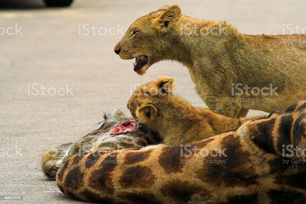 Feeding Cub royalty-free stock photo