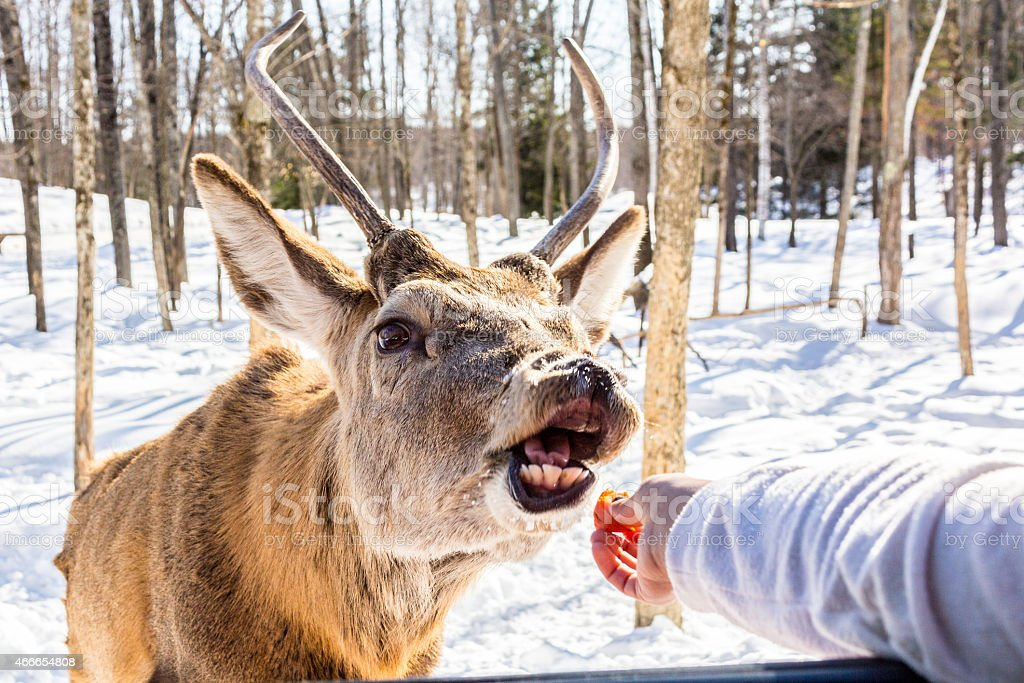 Feeding deer stock photo