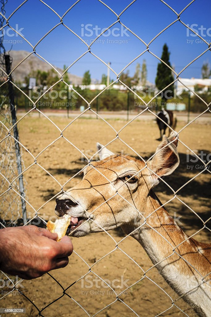 feeding deer royalty-free stock photo