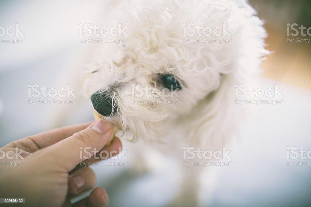 Resultado de imagen para poodle dog, feeding them by hand